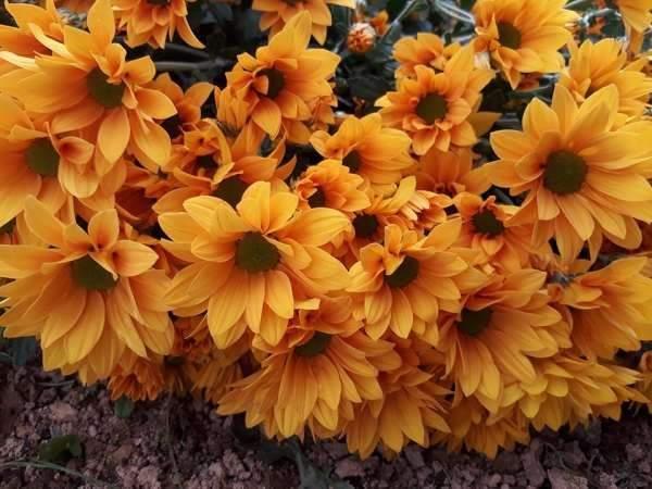 Mơ thấy hoa cúc là điềm báo điều gì?