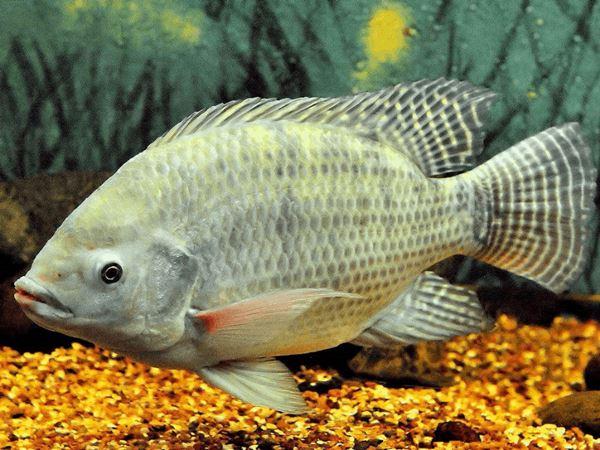 Mơ thấy cá rô là điềm gì, đánh số mấy phát tài phát lộc?