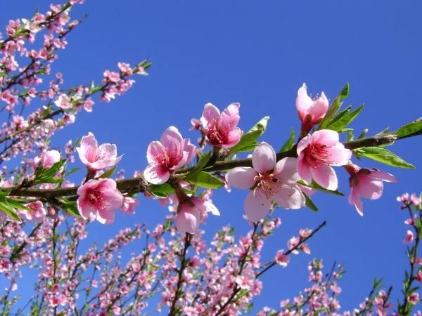 Ý nghĩa giấc mơ thấy hoa đào là điềm lành hay dữ?