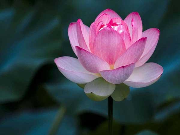 Mơ thấy hoa sen - Giải mã giấc chiêm bao thấy hoa sen