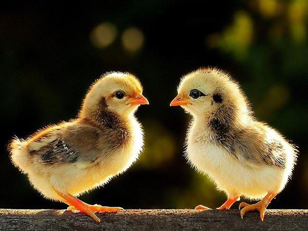 Mơ thấy gà con là điềm đen hay đỏ? Đánh con số tài lộc nào?