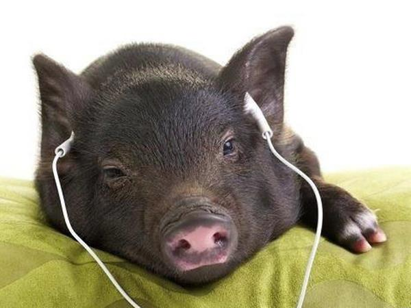Mơ thấy lợn chết đánh ngay cặp số nào để giải xui?