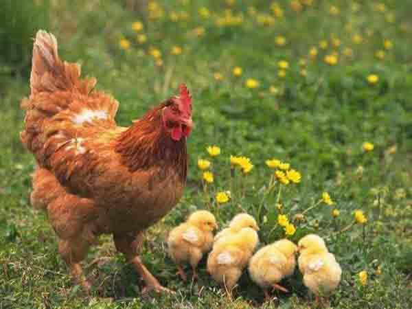 Ngủ mơ thấy gà mái đánh số gì ăn chắc, báo hiệu điềm gì